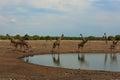 Herd of giraffes Royalty Free Stock Photo