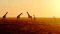 Herd of giraffes at sunrise Royalty Free Stock Photo