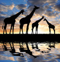 Herd of giraffes in the sunset Royalty Free Stock Photography