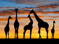 Herd of giraffes in the sunset Royalty Free Stock Images