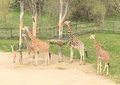 Herd of giraffes Royalty Free Stock Photo