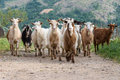 Herd of goats domesticated in mountain village Royalty Free Stock Photo
