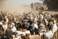 Herd of goats in the dust walking on a dusty road near turmi ethiopia Stock Image