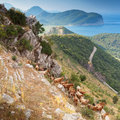 Herd of goats in Montenegro mountains Royalty Free Stock Photo