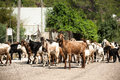 Herd of goats on the road Stock Photography