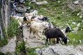 Herd of goats roam the street of rural town mixture feeding around wooden fence Stock Photo