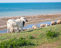 Herd of goats and sheep in the meadow Royalty Free Stock Photos