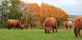 Herd of highland cows by autumn day grazing with colorful leaves on trees Royalty Free Stock Photo
