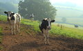 Herd of Holstein dairy cows Royalty Free Stock Photo