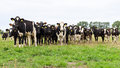 Herd of Holstein Friesian cows Royalty Free Stock Photo