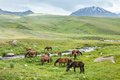 Herd of horses with colts grazing in mountains Royalty Free Stock Images