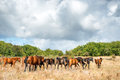 Herd of horses on the field Royalty Free Stock Photo