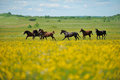 Herd of the horses in the field Royalty Free Stock Photo