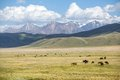 Herd of horses grazing in mountains large Royalty Free Stock Photography
