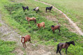 Herd of horses on a mountain pasture Royalty Free Stock Photo