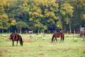 Herd of horses on pasture Royalty Free Stock Photo