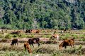 herd of horses on pasture, digital photo picture as a background , taken in vang vieng, laos, asia Royalty Free Stock Photo
