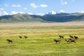 Herd of horses running gallop in the mountains Royalty Free Stock Photography
