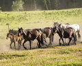 A herd of horses running at the grassland Royalty Free Stock Image