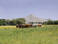 Herd of horses in rural montana usa Stock Image