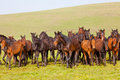 Herd of horses on a summer pasture elbrus caucasus karachay cherkessia Stock Images
