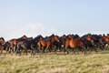 Herd of horses on a summer pasture elbrus caucasus karachay cherkessia Stock Photography