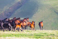 Herd of horses on a summer pasture Royalty Free Stock Photo