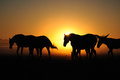 A herd of horses at sunrise. Royalty Free Stock Photo