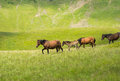 Herd of horses walking along a mountain meadow Royalty Free Stock Photo