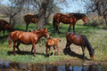Herd of horses with young foal graze near the pond a Stock Images
