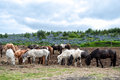 Herd of Icelandic horses Royalty Free Stock Photography