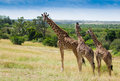 Herd if giraffes in Masai mara National Park Royalty Free Stock Photo