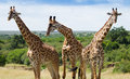 Herd if giraffes in Masai mara National Park Royalty Free Stock Photo