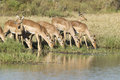 Herd of Impala drinking, South Africa Royalty Free Stock Image