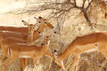 Herd of impalas female in africa Stock Image