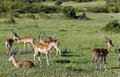 Herd of males black-faced impala antelopes (Aepyceros melampus) Royalty Free Stock Photo