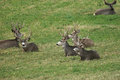 Herd of mule deer bucks relaxing in green pasture Royalty Free Stock Photo