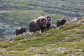 Herd of muskox on green mountainside in dovrefjell national park norway Royalty Free Stock Photo