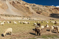 Herd of pashmina sheep and goats in himalayas himachal pradesh grazing india Stock Photo