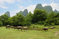 Herd pasture in beautiful landscape of china Stock Image