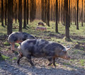 Herd of pigs Royalty Free Stock Image