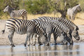 Herd of plains zebra equus burchellii drinking in south africa at the water s edge Stock Photo