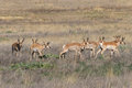 Herd of Pronghorn Antelope Bucks Royalty Free Stock Photo