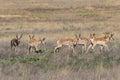 Herd of Pronghorn Antelope Bucks Royalty Free Stock Photo