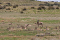 Herd of Pronghorn Antelope in Rut Royalty Free Stock Photo