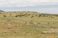 Herd of Pronghorn Antelope Royalty Free Stock Photo