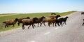 A herd of rams cross the road