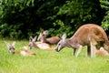 Herd of Red Kangaroo in field Royalty Free Stock Photo