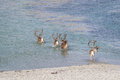 Herd of reindeer crossing water in Arctic Norway Royalty Free Stock Photo