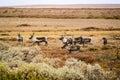 Herd of reindeer, Sweden Royalty Free Stock Photo